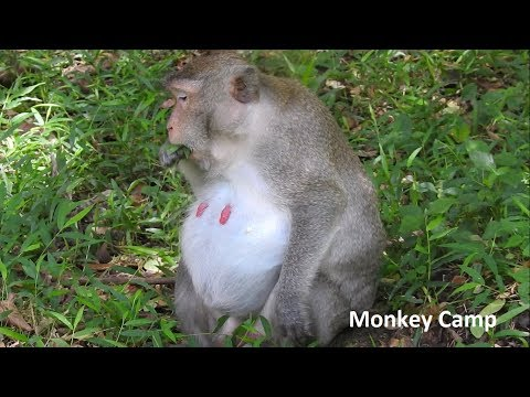 She will giving birth soon, Pregnancy monkey in Angkor, Monkey Camp part 1764
