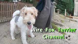 This wire fox terrier will definitely make you happy!