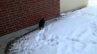 Miniature Schnauzer Puppy's First Snow