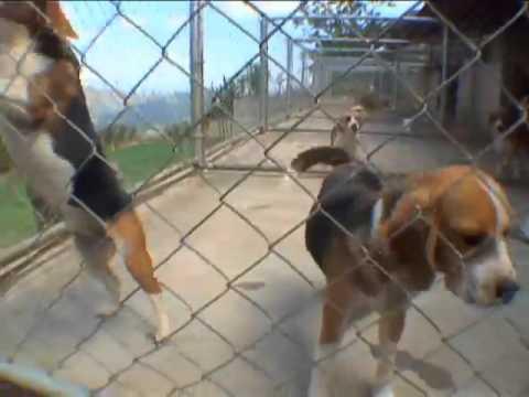 Gran Compañero Beagles Parte 1
