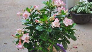 Agua de Arroz Realmente Funciona Para Adubação de Rosa do Deserto?