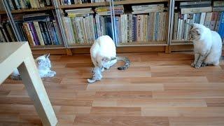 Улётное видео! Как тайская кошечка оживляла кошку-игрушку! Тайские кошки - это чудо! Funny Cats