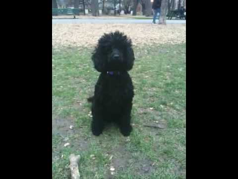 Black Miniature Poodle at the park