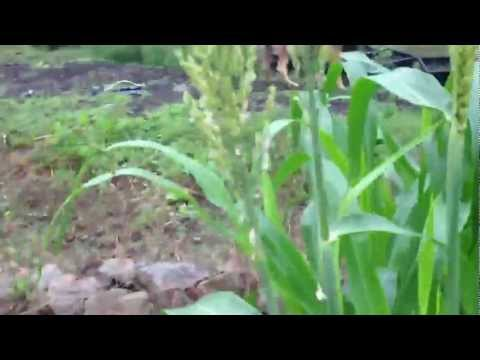 Sorghum in Second Growth 45 Days After Being Cut