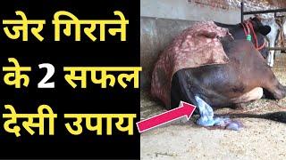 गाय भैंस की जेर गिराने के 2 जोरदार देसी उपाय|how to remove cow placenta homemade methods