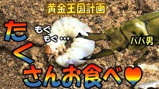 クワガタ&カブトムシ ババオウゴンオニクワガタのエサ交換(前編)黄金...
