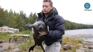 Нерпа Крошик вернулся к зоологам после выпуска на свободу