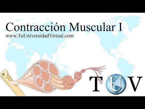 (Parte 1) Contraccion Muscular Fisiologia Como Funciona Actina y Miosina