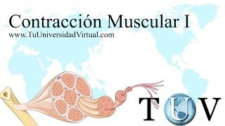 (Parte 1) Contraccion Muscular Fisiologia Como Funciona Actina y Miosin