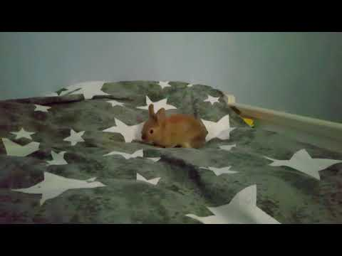 8 Weeks Old Bunny Explores Bed