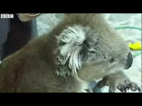 Koala rescued from rabbit trap in Melbourne