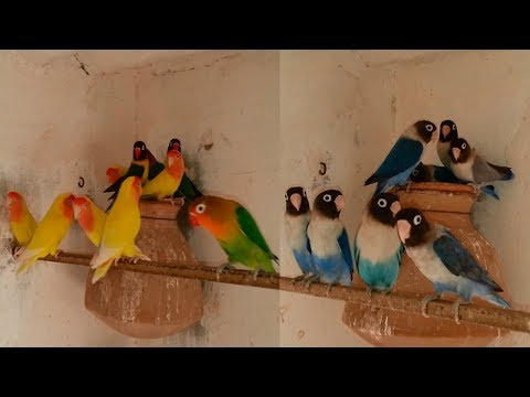 Lovebirds Colony For Sale Voilet - Fisher - Blue Pasnata & Lotino