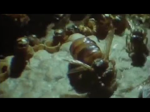 Bees building wax nests - Attenborough - Trials of Life - BBC