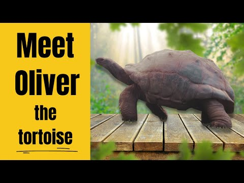 Oliver Giant male Aldabra Tortoise 26 years old.