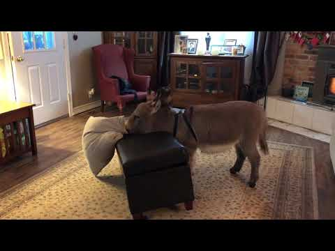 Tiny Tim the Mini Donkey, Playing with his Favourite Pillow