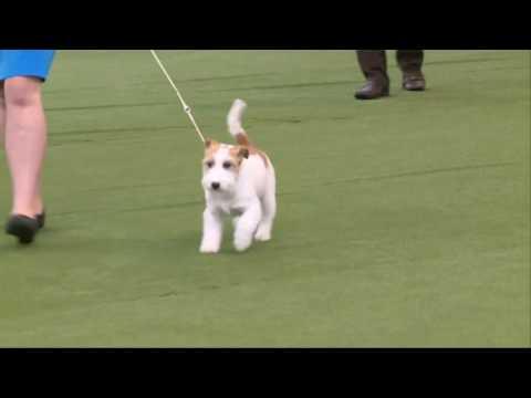 2016 Royal Adelaide Show - Dog Judging Wednesday 7 September