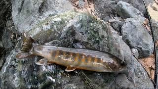 祝解禁☆南信州の渓流でヤマトイワナを釣る!