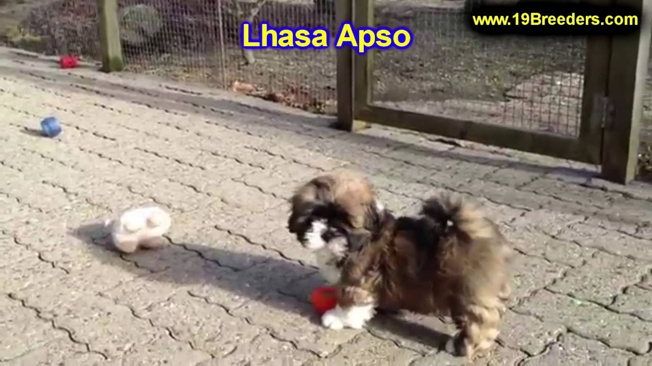 Lhasa Apso, Puppies, Dogs, For Sale, In Norfolk, County, Virginia, VA,  19Breeders, Richmond