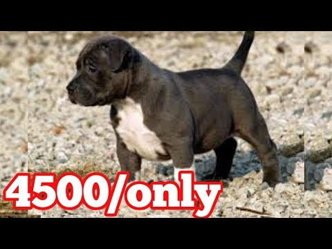 Pitbull Puppy For Sale In Low Price