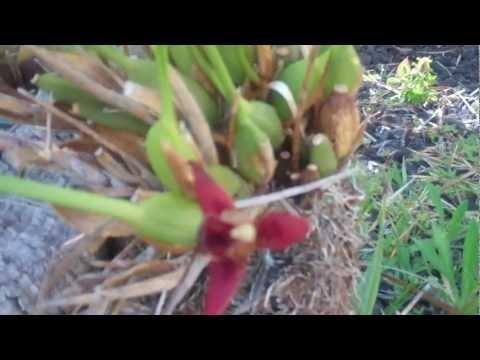 Maxillaria tenifolia x Max. sanquinea orchid (Orchid Series by Rogue Perfumer)