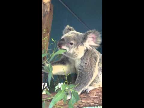 Koala feeding on eucalyptus leaves - Australia (Steve Irwin) Zoo, QLD, Australia thumbnail