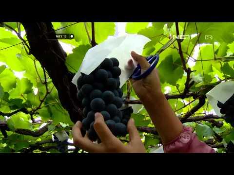 Destinasi Wisata Petik Anggur di Jepang - NET12