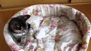 「何か来るにゃ! 怖いにゃー」 ハムスターを怖がる子猫が必死