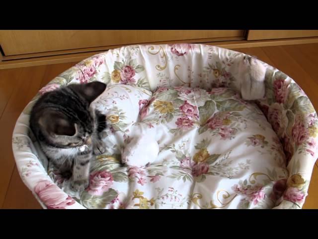ハムスターを怖がる猫 ♪子猫 ハムスター♪ The cat which is afraid of a hamster