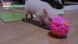 미니피그 핑돼 스낵볼 굴리기!애완돼지,Mini Pig,…