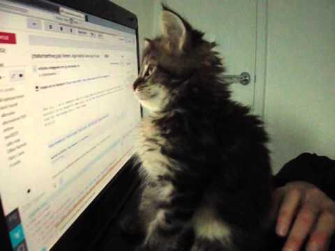 Maine Coon Kitten Uses Laptop Computer