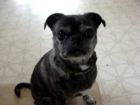 Our Pug/ Boston terrier dog . they call this breed bugs..