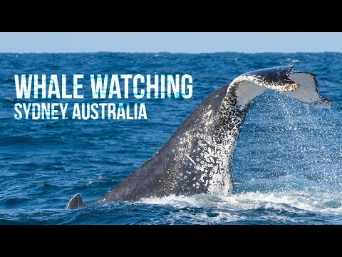 Whale Watching In Sydney, Australia