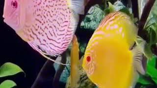 Video Ikan hias lucu - Asmaul husna (lagu islami untuk anak) download MP3, 3GP, MP4, WEBM, AVI, FLV Oktober 2019