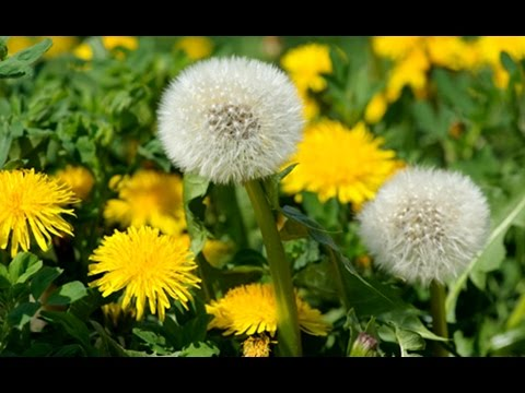 Кульбабки | Dandelions (Ukr) - YouTube