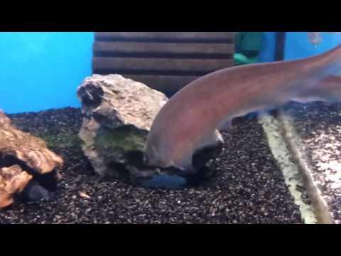 African Knifefish