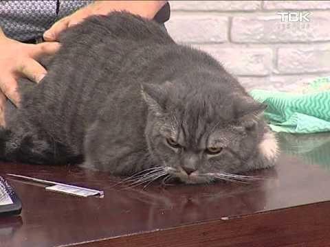 Линька у кошек: правила вычёсывания