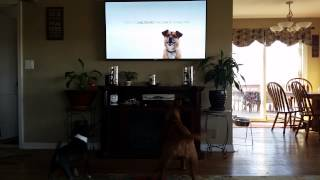 Dogue De Bordeaux  And Bugg Freak Out Over Dog On