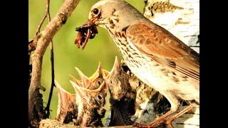 Птенцы дрозда белобрового в гнезде