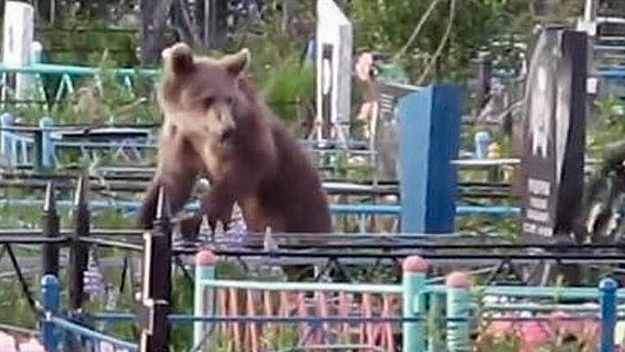 Этот медведь приходил на могилу своего хозяина, чтобы попрощаться с ним…