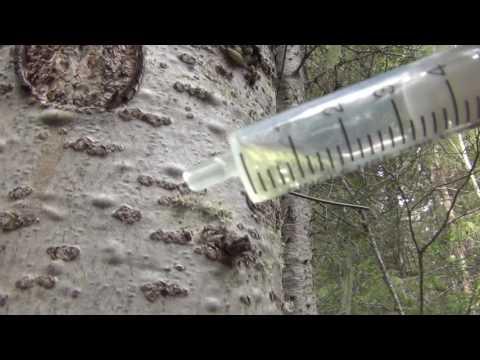 Гриб веселка - лечебные свойства и противопоказания