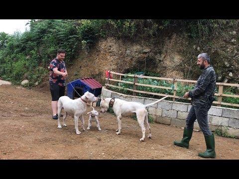 DOGOARGENTİNO SHİLA ÇOCUĞUNU ALIP BABA EVİNE GERİ DÖNDÜ :)) #dogoargentino #malaklı #canecorso
