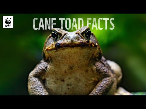 5 Facts About Cane Toads 🐸 | WWF-Australia