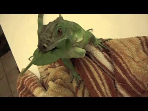 Reptar Iguana Growing Up Youtube