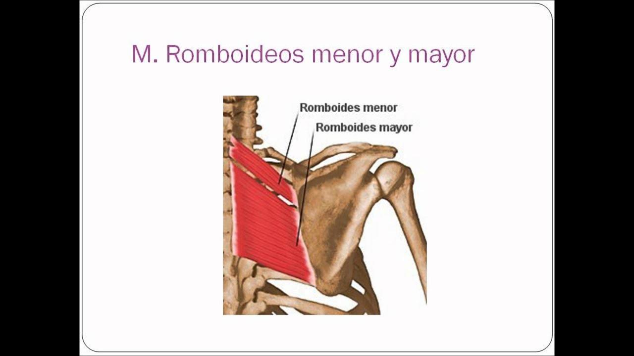 Músculos de hombro, axila y brazo. - YouTube