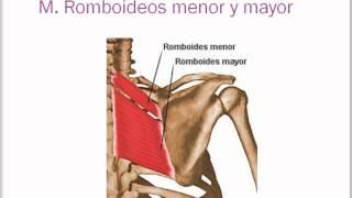 Músculos de hombro, axila y brazo.