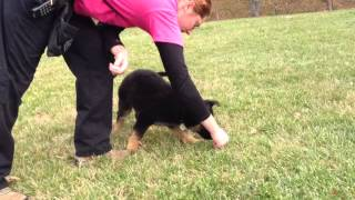German Shepherd Puppy For Sale, Obedience Trained Lincoln Von Prufenpuden