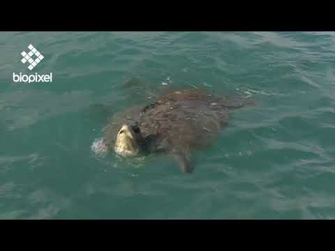 Oceanpedia   Critter finder   Sharks and Rays   Mid water   Tiger Sharks