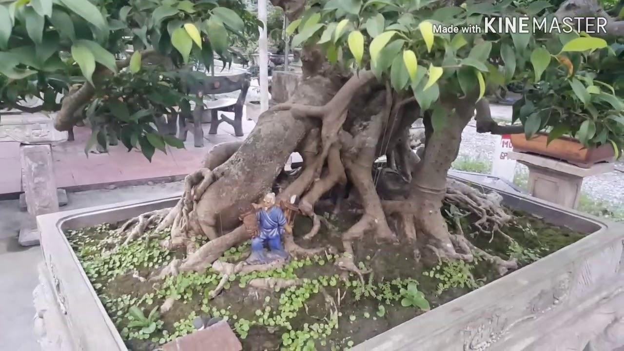 TVG bonsai tuyệt đỉnh dáng Tôm Hùm | cây xanh thế | cây cảnh