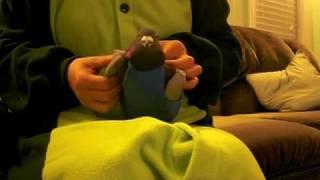 鳩のトミー君にオムツをつけています。 Putiing diaper on pet pigeon, ...