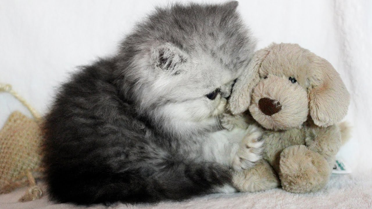 Cute Silver Shaded Persian Kitten